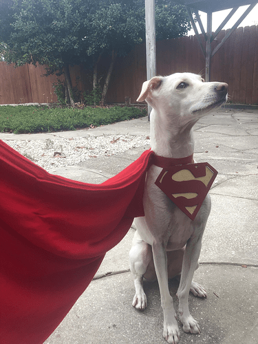 a white dog wearing a cape like superdog (from Superman's comics)
